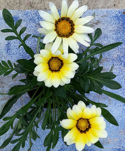 gazania_blanc_rives